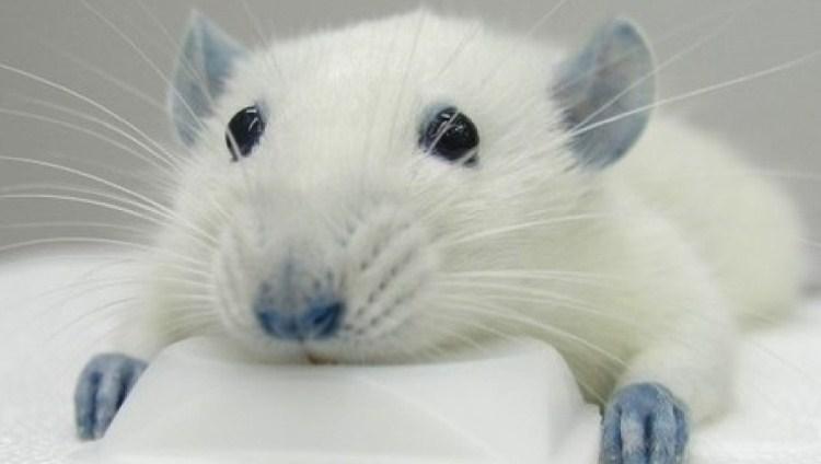 Curso sobre Procedimientos Experimentales en ratas, ratones y conejos